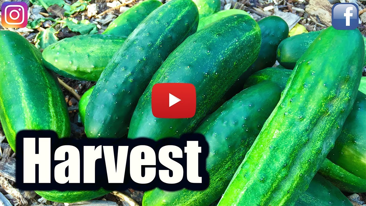 When To Harvest Cucumbers