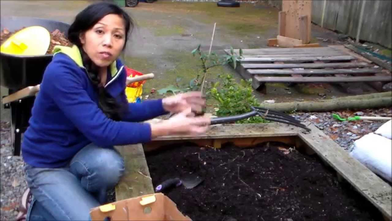 planting potatoes in the winter for spring vegetable garden