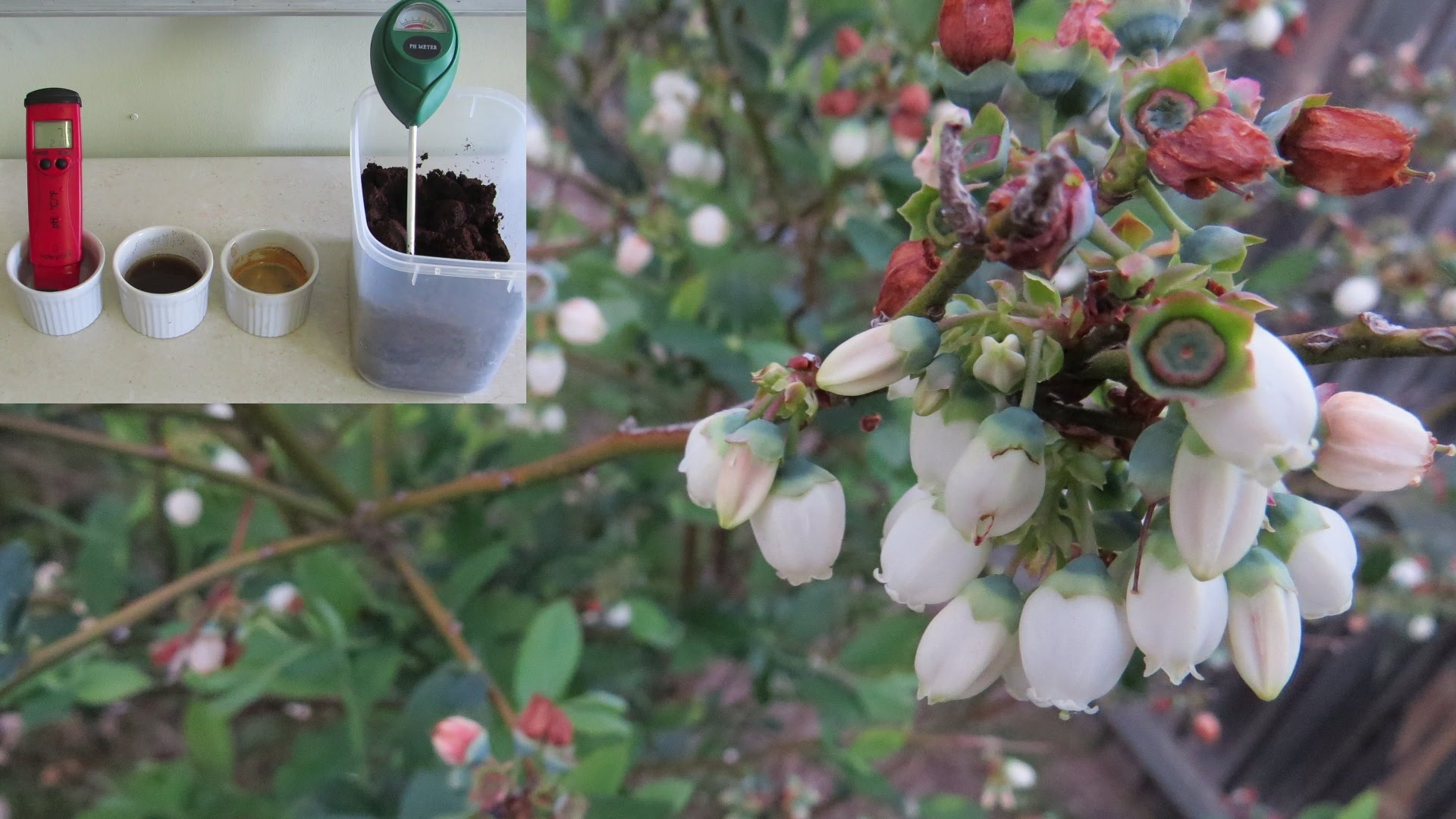 Coffee grounds to lower soil ph for blueberries fact or - Are coffee grounds good for your garden ...